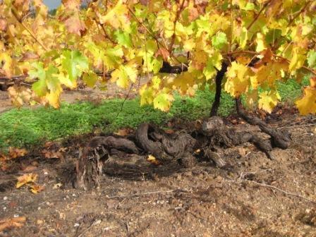1860s vines at Kalimna